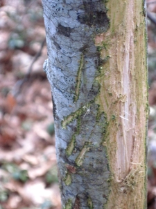 This young tree shows signs of antler rubbings.  My husband holds a pen next to the tree so you can get an ideal of perspective.