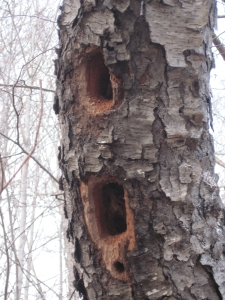 While these huge holes will undoubtedly kill the tree, other animals, including owls and other birds, will use the hole to make a nest.
