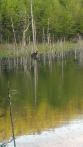 Cow Moose at Deer Hill Bog