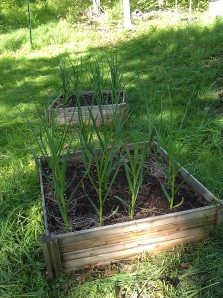 Garlic growing in a raised bed