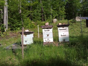 The bees are buzzing!  The hives are surrounded by a solar-powered electric fence, to deter bears.