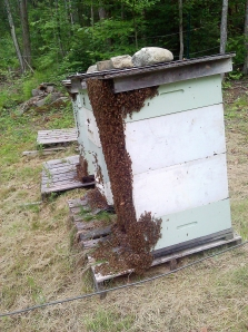 """Bearding:""  When the temperature inside the hive gets too hot to handle, bees cool of by hanging out around the outside of the hive at the end of a long day."