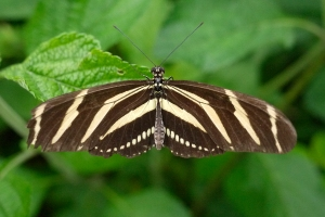 Zebra Longwing (South America north to Central America, West Indies, Mexico, southern Texas, and parts of Florida)