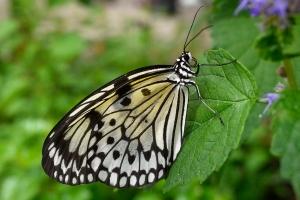 Paper Kite (Southeast Asia)
