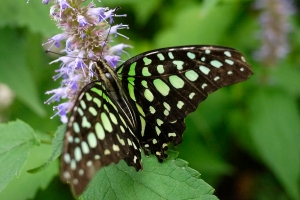 Another view of the Tailed Jay