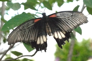 Great Mormon (Southeast Asia)