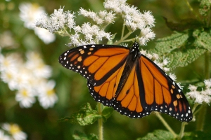 A Monarch butterfly, photgraphed near our house in Maine