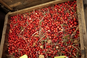 Freshly gathered bushel of cranberries