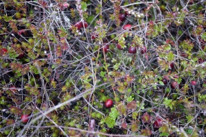 A close-up of cranberries growing in their natural state