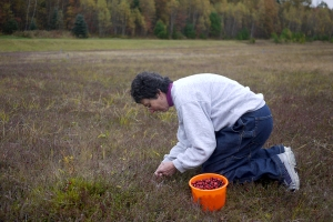 Linda Woodward picking cranberries