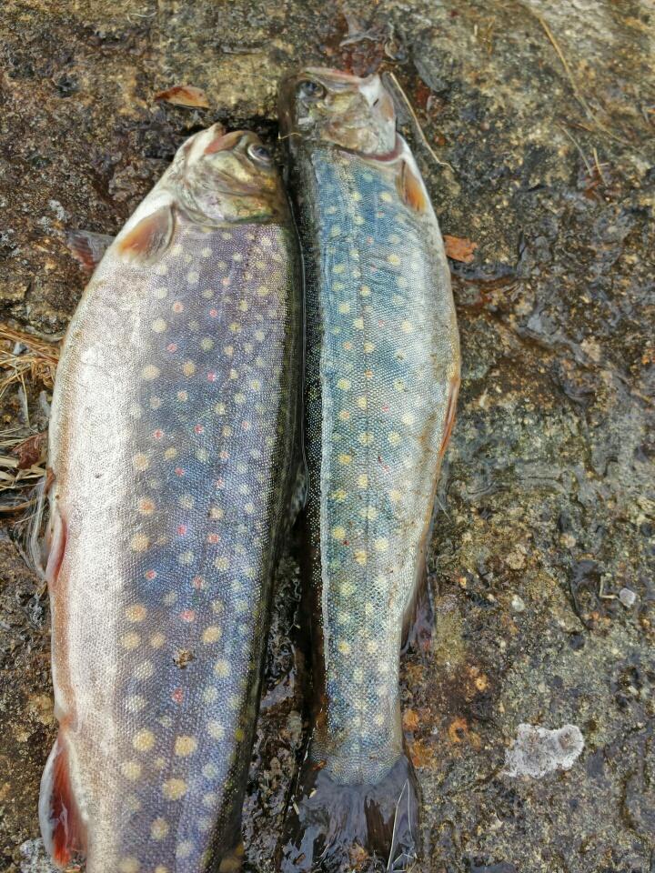 Maine fish stocking report midlife in maine for Maine freshwater fish