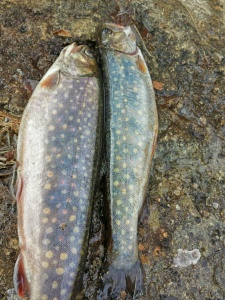 Brook trout from Kewaydin Lake, Stoneham, Maine