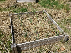 I had covered the planting box with straw mulch to help the garlic overwinter.