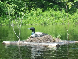 Nesting loon on Virginia Lake.  It is on a floating platform built for this purpose.