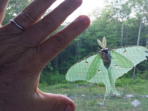 I've placed my hand alongside the luna moth so you can get an idea of its size