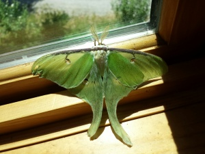 I let it inside a few minutes so I could take a picture of its back.  I released it outside immediately afterwards.
