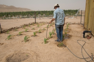 Watering an experimental vegetable garden