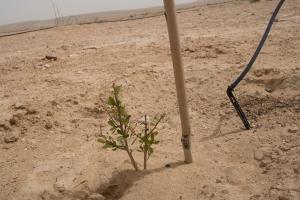 An argan tree seedling, next to some drip irrigation