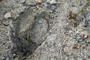 A moose's hoofprint is heart-shaped.