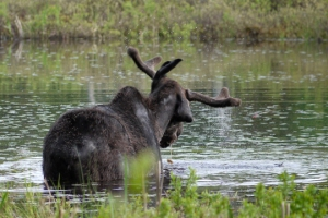 After immersing his head completely in water, he shook off his antlers much like a dog would do.