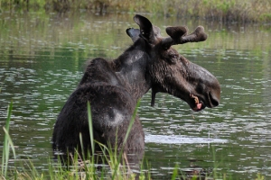 This poor guy's rump is covered in ticks.  Many moose in the White Mountains are victims of Tick Wasting Disease.