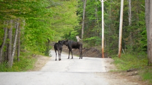 Two moose nuzzle one another on the road leading to my house