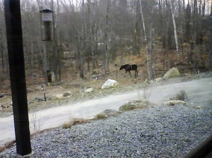 This moose photo was taken by our webcam when we were away from home.  It's along the periphery of the apple orchard fence.