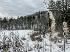 Cattails along the edge of Little Pond