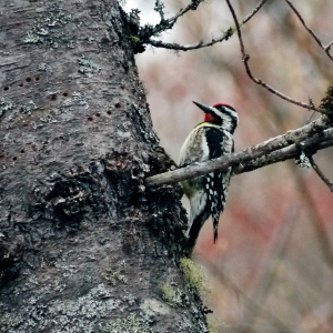 The Yellow-Bellied Sapsucker woodpecker
