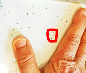 """You may think you see 3 midges in the red square, but if you click on the picture to enlarge it and look very closely, you will see that there are actually 3 additional very tiny  biting midges that give them their well-deserved name of """"no-see-ums."""""""