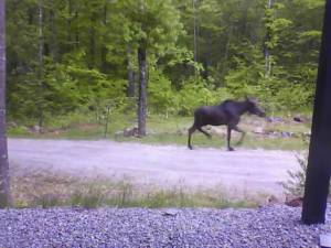 A bull moose in velvet trots up our driveway